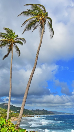 12242017_Barbados_2-Palm_Trees_750_0046_resize